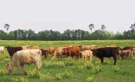 cattle breeds livestock